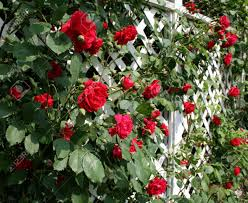 a white trellis supporting a red rose vine stock photo picture