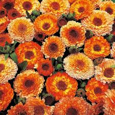 calendula officinalis u0027pink surprise u0027 thompson u0026 morgan
