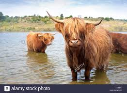 bull cow livestock cattle scottish nature drink drinking bibs