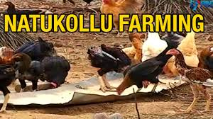 Backyard Chicken Farming by Backyard Poultry Or Natukollu Farming Success Story From East