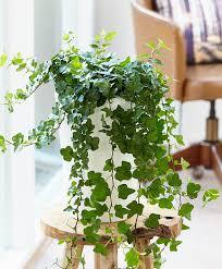 buy house plants now ivy u0027wonder u0027 bakker com