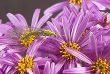 lilac color lilac color wikipedia