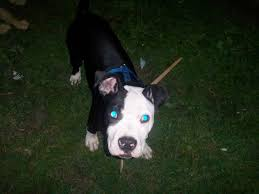 american pitbull terrier white with black spots black and white pitbull youtube