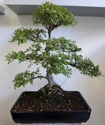 bonsai trees buy uk