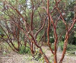 manzanita tree arctostaphylos manzanita dr hurd manzanita tree