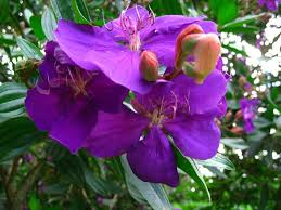 Tree With Purple Flowers Tibouchina Lepidota Planting Growing And Propagating