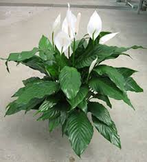 Peace Lily Plant The Peace Lily Filters Out Five Dangerous Toxins From The Air