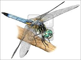 blue dasher dragonfly pachydiplax longipennis line art and full