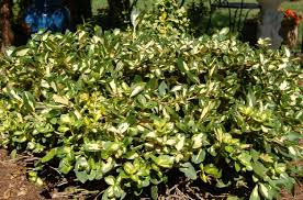 Small Shrubs For Front Yard - small evergreen shrub varieties