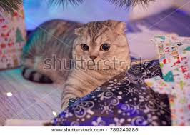 cat christmas wrapping paper surprised cat lies pile christmas wrapping stock photo 789249286