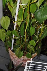 houseplants forum have a question about a philodendron going from