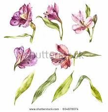 Lily Flowers Set Watercolor Illustrations Lily Flowers Botanical Stock