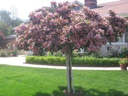 ornamental trees album nature s artistic display for your pleasure