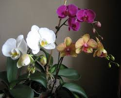 moth orchid easy orchid for beginners moth orchid or phalaenopsis dengarden