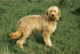 Ginger Doodle Goldendoodle Dogs And Puppies For Sale In The Uk Pets4homes