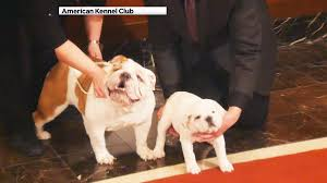 french bulldog is most popular dog breed in nyc american kennel
