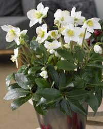 christmas plant niger white christmas roses pack of five plants in gold pots