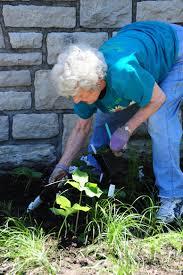 shade loving native plants new native plant gardens at loose park u2013 kansas city native plant