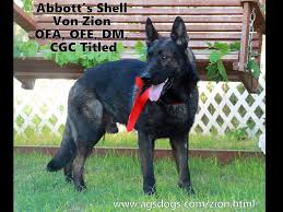 belgian shepherd victoria abbott u0027s german shepherds puppies for sale