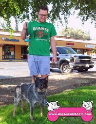 cost of australian shepherd low cost dog and cat shots in northern california australian
