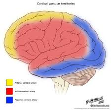 Gross Brain Anatomy Posterior Cerebral Artery Radiology Reference Article