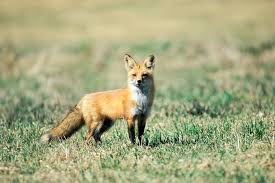red fox mdc discover nature