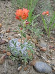 utah native plants western native seed gourment native xeriscape wildflower mix