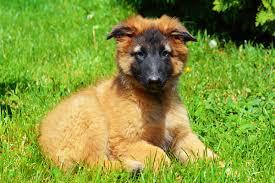 belgian sheepdog puppies for sale belgian sheepdog puppies breed information u0026 puppies for sale