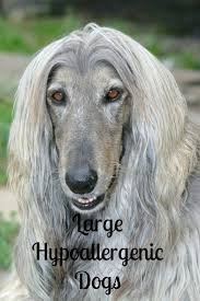 afghan hound tattoo 104 best afghans images on pinterest afghans afghan hound and