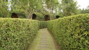Teh Tehan jual pohon teh tehan siap antar jabodetabek tanaman pagar hidup
