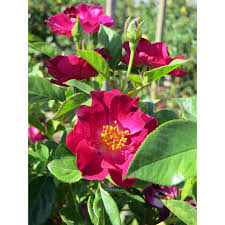 rosa climbing roses pink flower color boething treeland farms