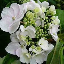 White Hydrangeas Buy Hydrangea Shrubs Online White Hydrangeas For Sale Order