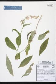 Canopy Synonyms by Lobelia Amoena Species Page Isb Atlas Of Florida Plants
