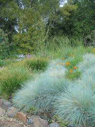central coast native plants festuca u0027siskiyou blue u0027 water efficient plant material