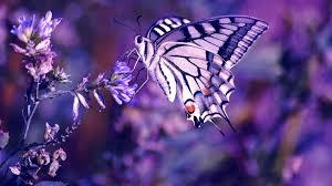 screenheaven beutiful purple buttefly butterfly beautiful animals