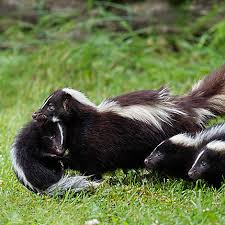 How To Get Rid Of A Skunk In Your Backyard How To Get Rid Of Skunks Skunk Removal Havahart