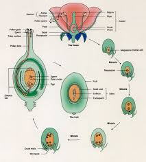 Where Is The Pollen Produced In A Flower - sexual reproduction in angiosperms