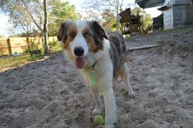 australian shepherd and beagle mix aussie the dog liberator