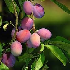 plum trees pefect for your area fast growing trees