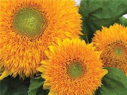 teddy sunflowers teddy sunflower baker creek heirloom seeds