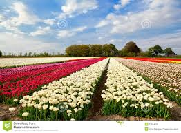 colorful tulip fields in alkmaar north holland royalty free stock