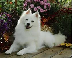 american eskimo dog chicago american eskimo dog all creatures great and small pinterest