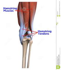 Anatomy Of The Knee Leg Anatomy Tendons Image Collections Learn Human Anatomy Image