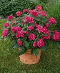 pentas flower pentas lanceolata flower seeds 200pcs starry flowers seeds purify