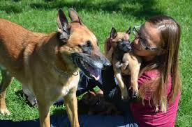 belgian sheepdog craigslist belgian malinois puppies
