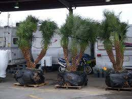 outdoor garden unique robellini palm tree for home landscaping