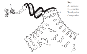 Dna Structure And Replication Worksheet Key Higher Unit 1 Revision Questions Structure Replication Of Dna Rev