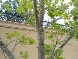 quercus rubra encino rojo hojas se secan fotos