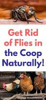 how to get rid of flies in your chicken coop naturally posts