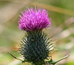 flower of scotland 2 the only difficulty in photographing u2026 flickr